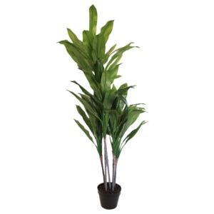 Potted Broad Leaf Dracaena