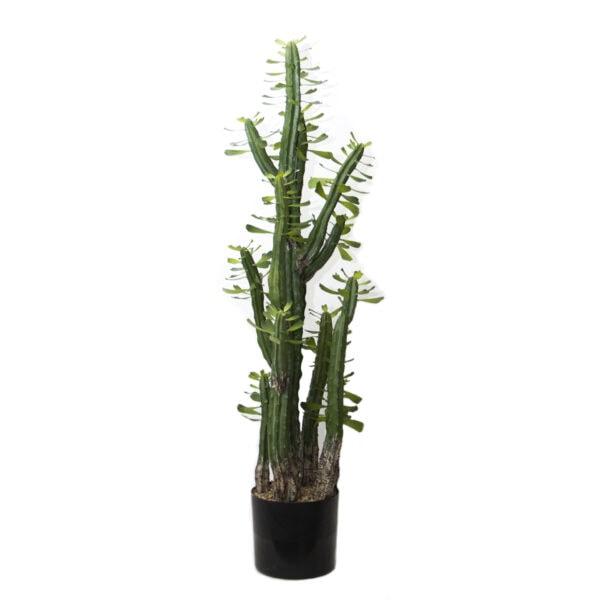 African Cactus
