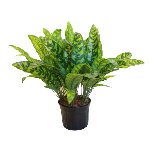 Green Aglaonema Plant